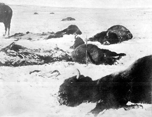 Buffalo killed and left in snow - Wounded Knee 1891